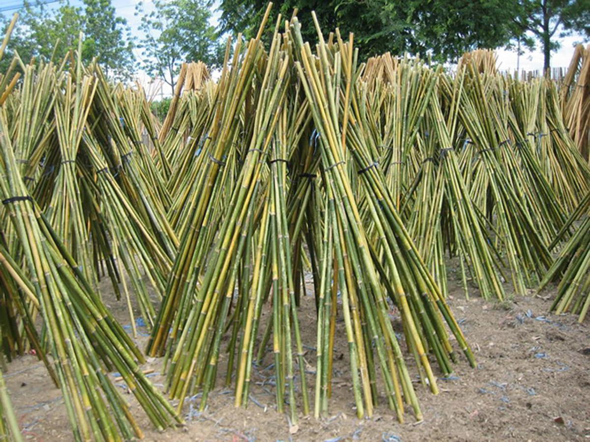 Rosa pietro e figli bambu curiosit e prodotti in bamboo for Canne di bambu per arredamento
